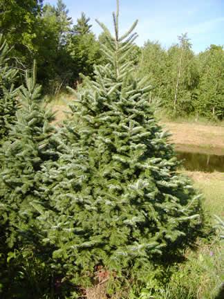 Christmas Tree Real Vs Fake